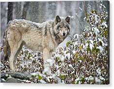 Timber Wolf Acrylic Print