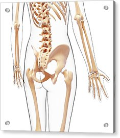 Human Skeleton Acrylic Print by Pixologicstudio/science Photo Library