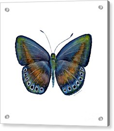 39 Mydanis Butterfly Acrylic Print by Amy Kirkpatrick