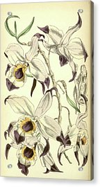 19th Century Botanical Colour  Print. Botanical Illustration Acrylic Print