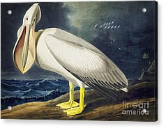 American White Pelican Acrylic Print by Celestial Images