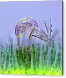 Amoeba Acrylic Print by Marek Mis