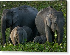 An Indian Elephant Family In Kaziranga Acrylic Print