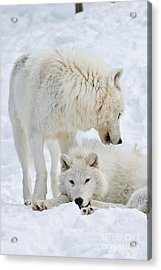 Arctic Wolves Acrylic Print by Michael Cummings