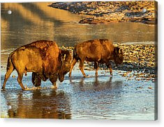 Bison Crossing The Little Missouri Acrylic Print