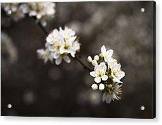 Blackthorn Blossom Acrylic Print