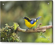 Blue-winged Mountain Tanager Acrylic Print