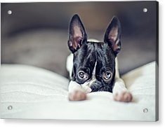Boston Terrier Puppy Acrylic Print by Nailia Schwarz