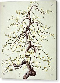 Botanical Illustration Acrylic Print by Natural History Museum, London/science Photo Library
