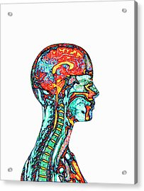 Brain And Spinal Cord Acrylic Print