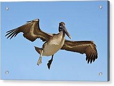 Brown Pelican In Flight Acrylic Print by Paulette Thomas