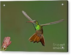 Buff-bellied Hummingbird Acrylic Print by Anthony Mercieca