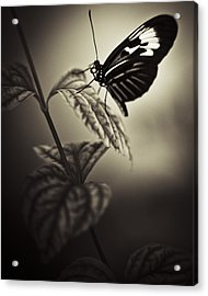 Butterfly Brown Tone Acrylic Print