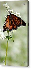 Butterfly Acrylic Print by Dacia Doroff
