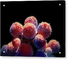 Cancer Cells Acrylic Print by Maurizio De Angelis
