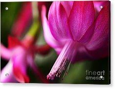 Christmas Cactus In Bloom Acrylic Print