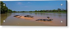 Close-up Of Yacare Caimans Caiman Acrylic Print by Panoramic Images
