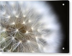 Dandelion Backlit Close Up Acrylic Print