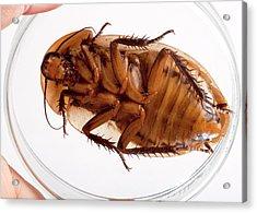 Death's Head Cockroach Acrylic Print by Pascal Goetgheluck/science Photo Library