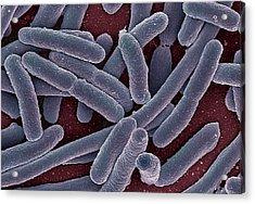 E Coli Bacteria Sem Acrylic Print by Ami Images