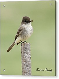 Eastern Phoebe Acrylic Print by David Lester