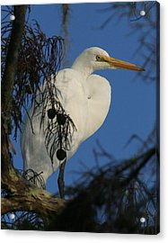 Egret Acrylic Print by Jeff Wright