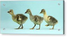 Embden X Greylag Goslings Acrylic Print