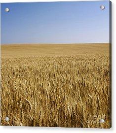 Field Of Wheat Acrylic Print by Bernard Jaubert