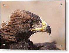Glaring Eagle Acrylic Print