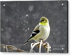 Goldfinch Acrylic Print by Brenda Bostic