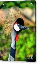 Grey Crowned Crane Acrylic Print