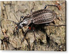 Ground Beetle Acrylic Print by Science Photo Library