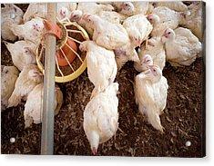 Hens Feeding From A Trough Acrylic Print