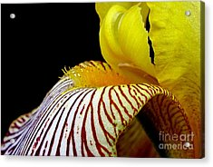 Iris Acrylic Print by Irina Hays