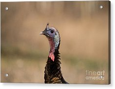 Jake Eastern Wild Turkey Acrylic Print by Linda Freshwaters Arndt
