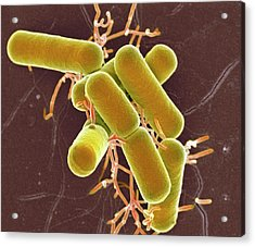 Lactobacillus Bacteria Acrylic Print by Science Photo Library