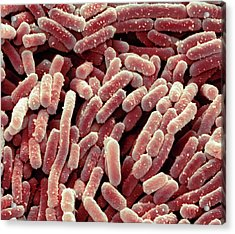 Lactobacillus Bacteria Acrylic Print by Steve Gschmeissner