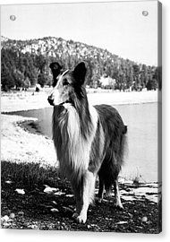 Lassie Acrylic Print by Retro Images Archive