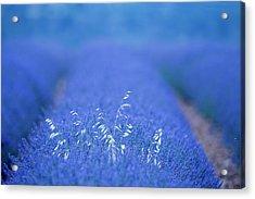 Lavender Plantation, Brihuega Acrylic Print