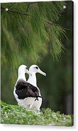 Laysan Albatross (phoebastria Acrylic Print