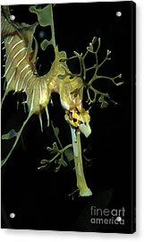 Leafy Seadragon Acrylic Print by Gregory G. Dimijian
