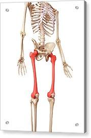 Leg Bones Acrylic Print by Sebastian Kaulitzki/science Photo Library
