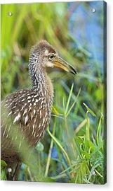Limpkin Chick, Aramus Guarana, Viera Acrylic Print