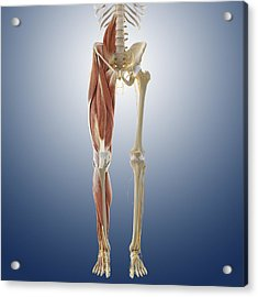 Lower Body Anatomy, Artwork Acrylic Print by Science Photo Library