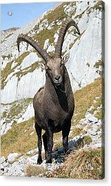 Male Alpine Ibex Acrylic Print by Dr Juerg Alean