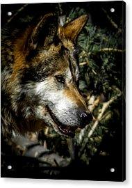 Mexican Grey Wolf Acrylic Print by Ernie Echols