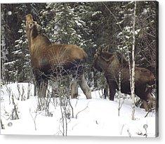 Moose Acrylic Print by Jennifer Kimberly