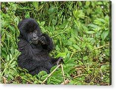 Mountain Gorilla, Gorilla Beringei Acrylic Print