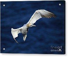 Northern Gannet In Flight Acrylic Print