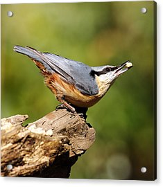 Nuthatch Acrylic Print by Grant Glendinning